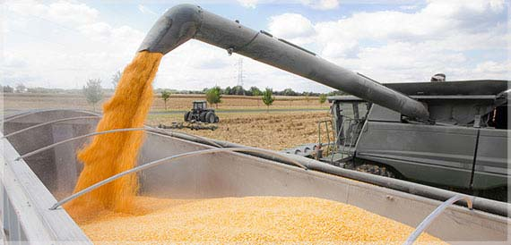Combine filling truck with harvested corn.