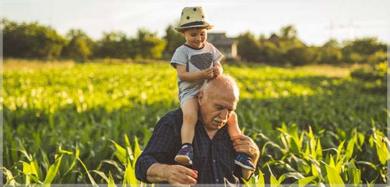 Grandfather carrying his grandchild on his shoulders  through his corn field.